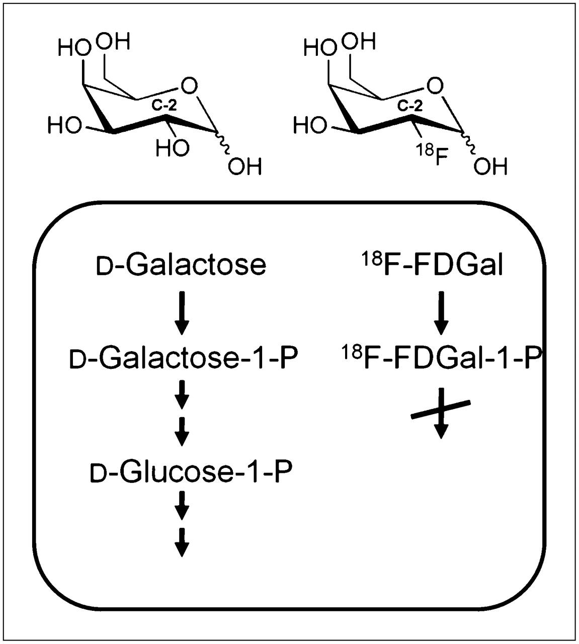 D Galactose D-Galactose  FIGURE 3